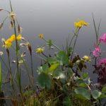 blühende Teichpflanzen 2018