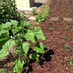 Neupflanzung verschiedener Erbeersorten